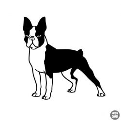 Boston terrier matrica 6